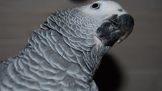Download African Grey parrot does Mockingjay whistle! And much more Video