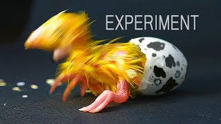 Download EXPERIMENT. WHAT CAME OUT OF THE EGG? Video
