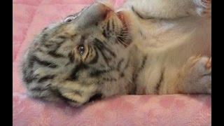 Download Hear me ROAR, yawn, sleep cutest white tiger cub Video