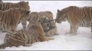 Download Chubby Siberian Tigers Hunt Electronic Bird of Prey Video