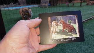 Download Tiger fridge magnet, can You believe it ! Video