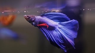 Download HOW TO: Care for Betta Fish Video