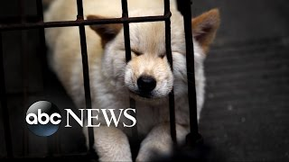 Download Chinese Dog Meat Festival | Undercover Cameras Reveal Brutality Video