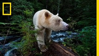 Download National Geographic Live! - Capturing the Spirit Bear | Nat Geo Live Video