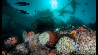 Download Scuba Diving in Monterey Bay, California Video