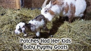 Download Patches Pygmy Kid Goats Arrive! Video