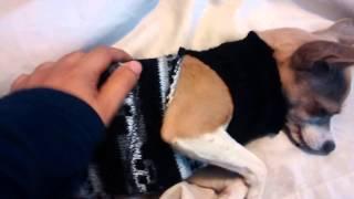 Download Postoperatorio de esterilización hembras Video