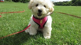 Download Cashew - Cavapoo Puppy - 5 Week Residential Dog Training at Adolescent Dogs Video