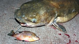 Download How to catch catfish with bluegill - fishing for catfish with bluegill Video