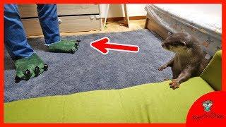 Download もしも飼い主の足が恐竜になったら?カワウソ ビンゴ(What if Otter Bingo's owner has dinosaur feet) Video