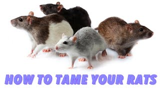Download How To Tame Your Rats Video