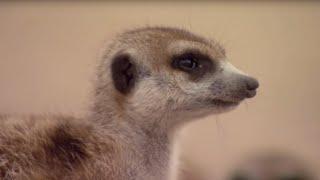 Download How to Speak Meerkat   BBC Earth Video