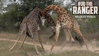 Download Amazing Sighting Of Giraffe Bulls Fighting In South Africa Video