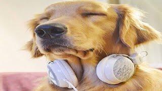 Download 落ち着きのない犬をリラックスして眠りに設計された犬のための音楽 【 DOGS MUSIC BGM平成29 Video