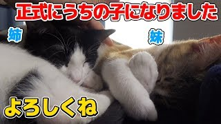 Download 無事正式譲渡が決まった新入り子猫:おつたま21日目 Video
