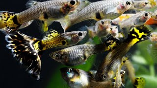 Download How to Breed fish for Profit. Part 1. Fancy Guppies, Java Moss, Cherry Shrimp, African Cichlids. Video