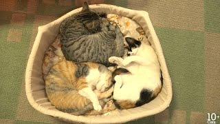 Download にゃー! ごはんを食べたら寝る14匹の猫たち Video