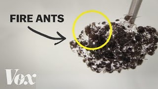 Download The bizarre physics of fire ants Video