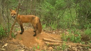 Download Coyote Finds Den of Red Fox Pups Video