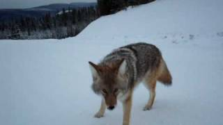 Download Coyote Attack Best Footage Ever Video