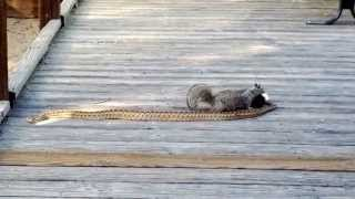 Download Squirrel vs snake Video