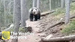 Download Australian hikers encounter MASSIVE grizzly bear in Alberta forest Video