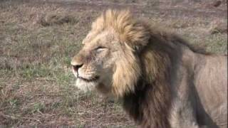 Download Zambia: Leopards & Lions Video