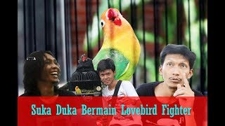 Download BALEKAMBANG Solo- Wachyu R, Itok ILS & Danang Barker,Cerita Suka Duka Bermain Lovebird Fighter Video