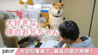 Download 大切な家族で最高の遊び仲間! 柴犬王子くんと兄ちゃんの関係にほっこり☺️✨ 【PECO TV】 Video