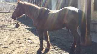 Download Ló veszetség (horse rabies, бешенство у коня) Video