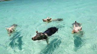 Download WHEN PIGS SWIM: THE FILM (EXUMA, BAHAMAS) Video