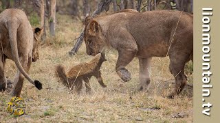 Download Fearless Honey Badger takes on 6 Lions. Video