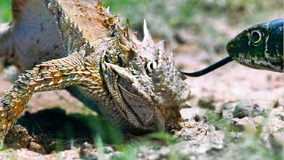 Download Lizard Fends Off Predators To Protect Her Eggs | Life | BBC Earth Video