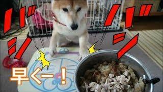 Download 柴犬小春 「早くちょうだい!」机を連打でバシバシアピール!鶏がら軟骨には目がない! Video