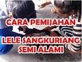 Download Cara Pemijahan lele sangkuriang Video