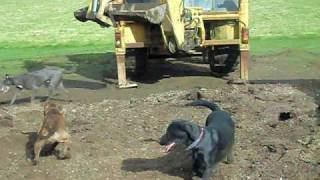 Download rat catching with farm dogs about 250 rats part 1 rats fail Video