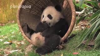 Download Panda Xiao Xin has fun alone in the bucket Video