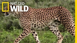 Download A Steenbok's Fight For Life | Destination WILD Video