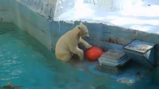 Download ふと我に返り母を探すモモ   天王寺動物園のホッキョクグマ Video