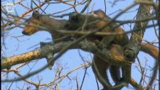 Download My Favorite Animal- Fossa Fouche (cryptoprocta ferox) Video