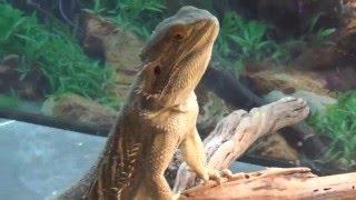 Download Rocky & Roxxi - My Bearded Dragons Enjoying Dinner Tonight! Video