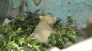 Download ホッキョクグマの赤ちゃん大ピンチ! 天王寺動物園 Baby Polar Bear at Tennoji Zoo Video