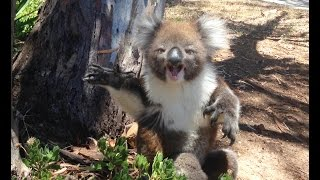 Download Koala Gets Kicked Out Of Tree and Cries! Video