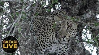 Download safariLIVE - Sunrise Safari - October 20, 2018 Video