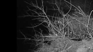 Download Beaver Night Vision Footage Video