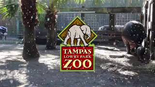Download We Got a Pygmy Hippopotamus for Christmas! Video