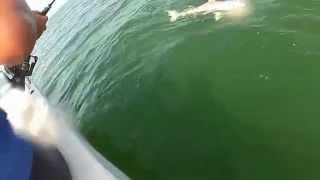 Download Grouper eats 4ft shark in one bite Video