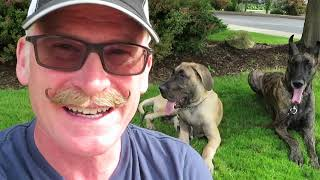 Download Magic and Finn the Great Danes go to the Ice Cream Social Video