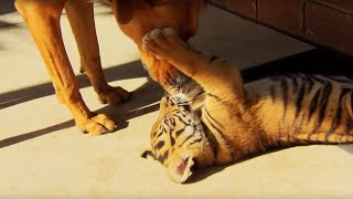 Download Tiger Cubs Playing With Dogs | Tigers About The House | BBC Video