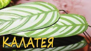 Download Калатея - условия домашнего содержания. [Надежда и Мир] Video